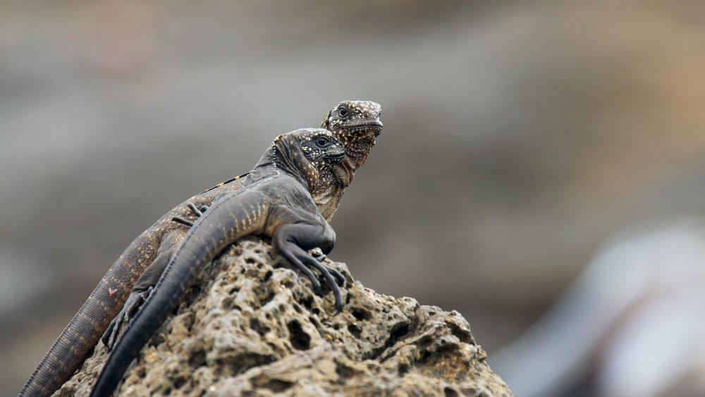 PEII_Islands_Hatchling marine iguanas_Copyright BBC 2016.jpg
