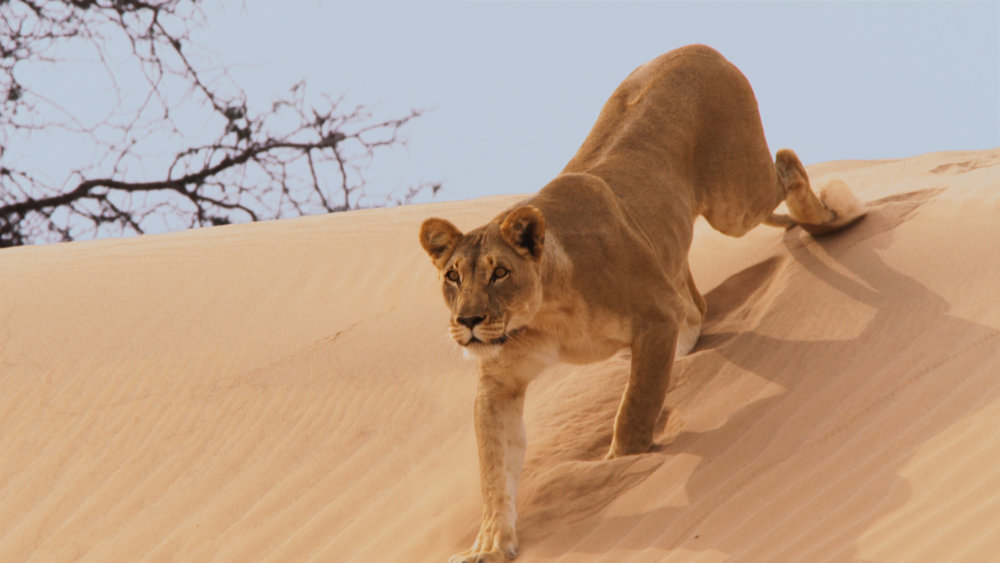 PEII_Deserts_Lion_Copyright - Into Nature Productions.jpg