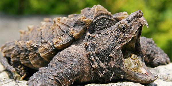 alligatorsnapping-turtle.jpg