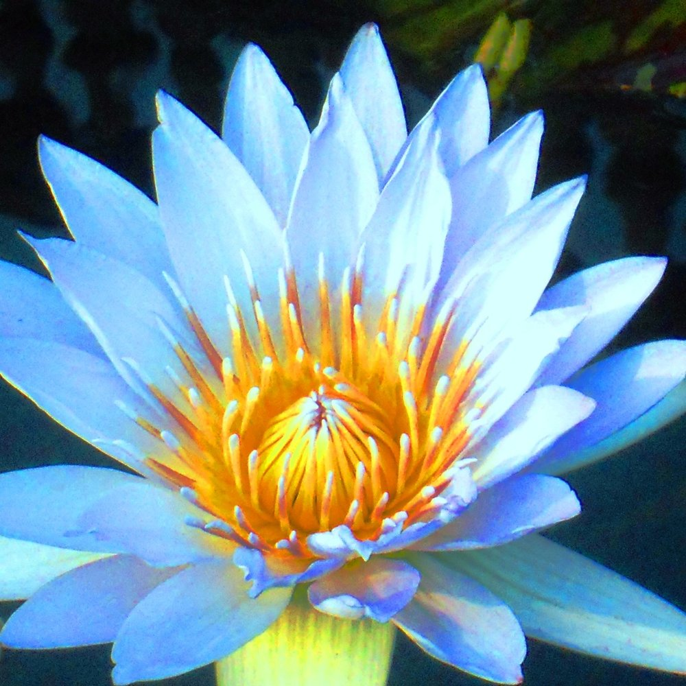 A blue and yellow flower