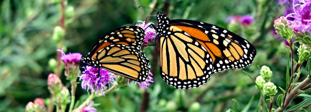 "Photo credit ""Two monarchs"": Ali Eminov"
