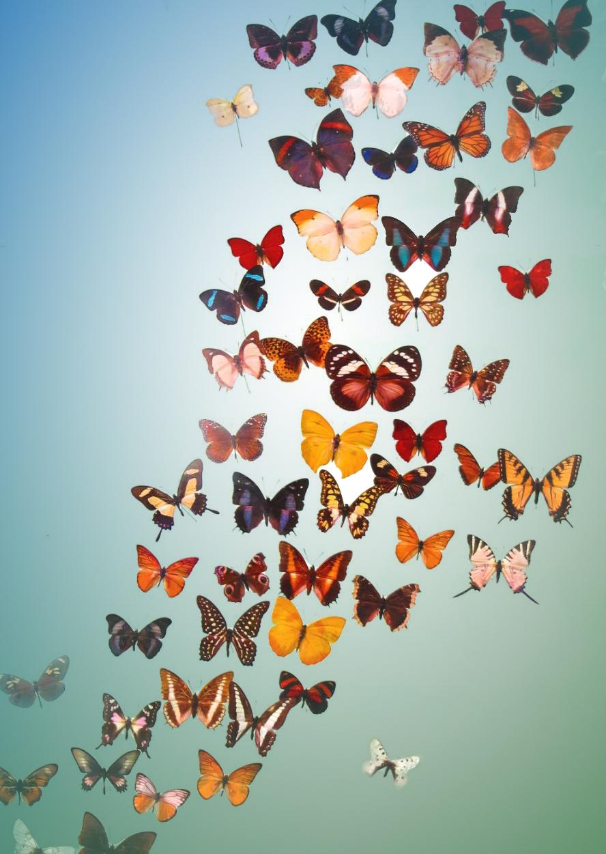 Butterfly info.JPG