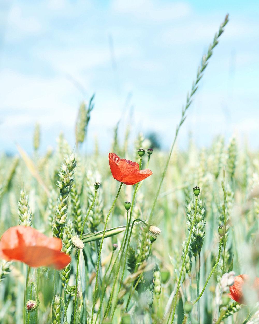 Last Poppies -