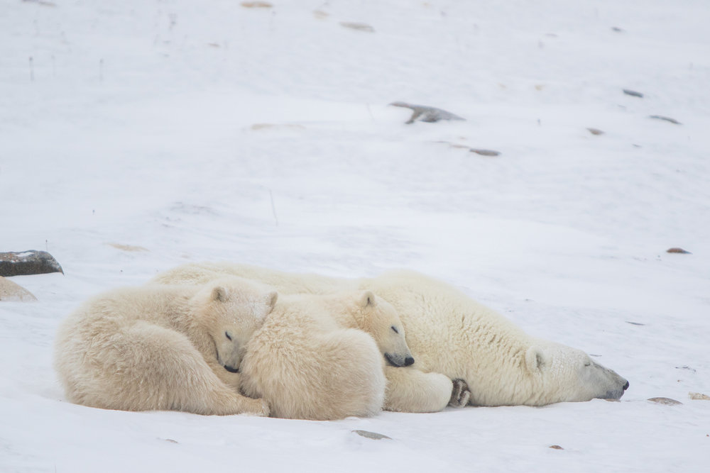 Nap time on the tundra