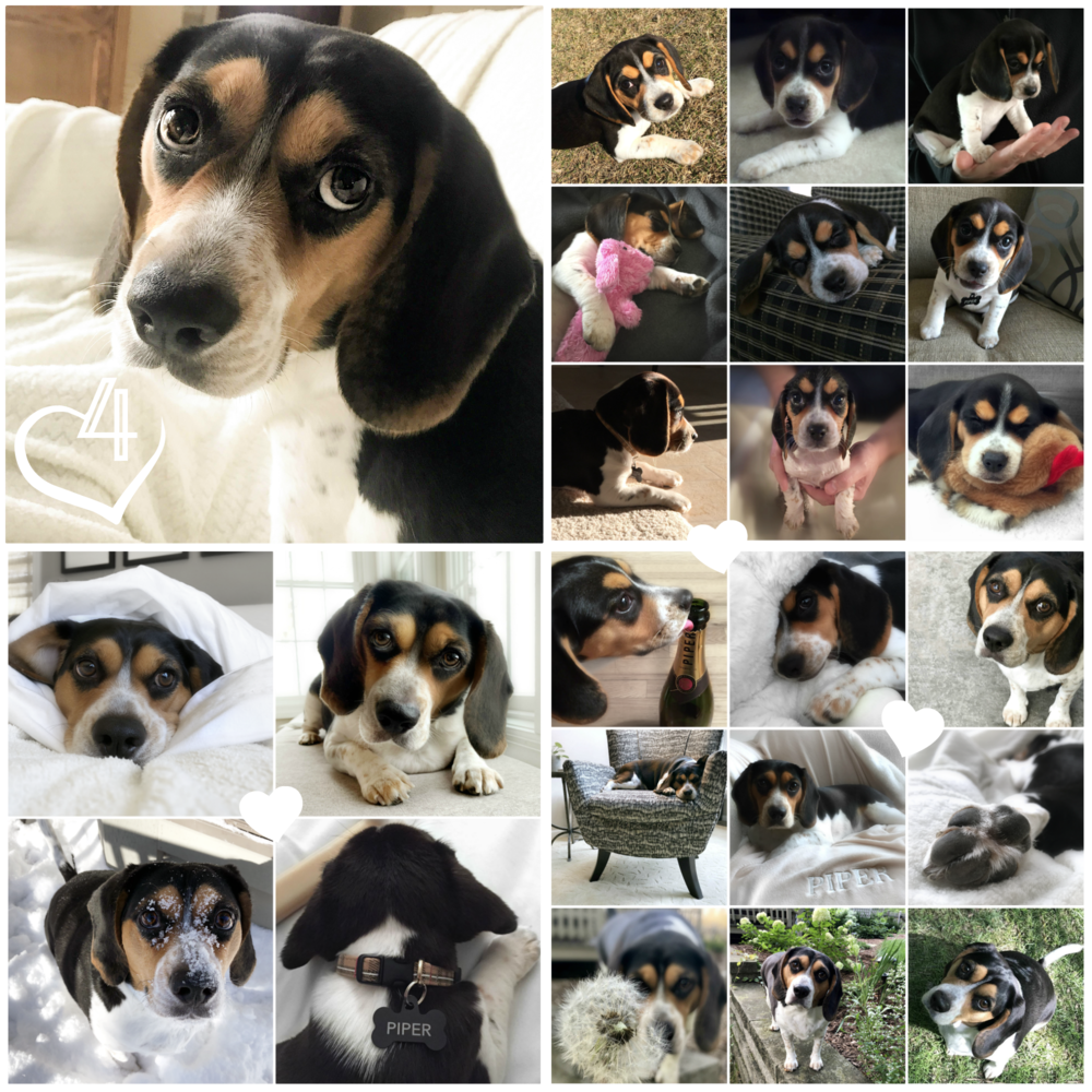 Four years ago we brought this little beagle home! She is smart, stubborn, silly, and so sweet, and I couldn't love her more 🖤 Happy Gotcha Day, Piper Marie!