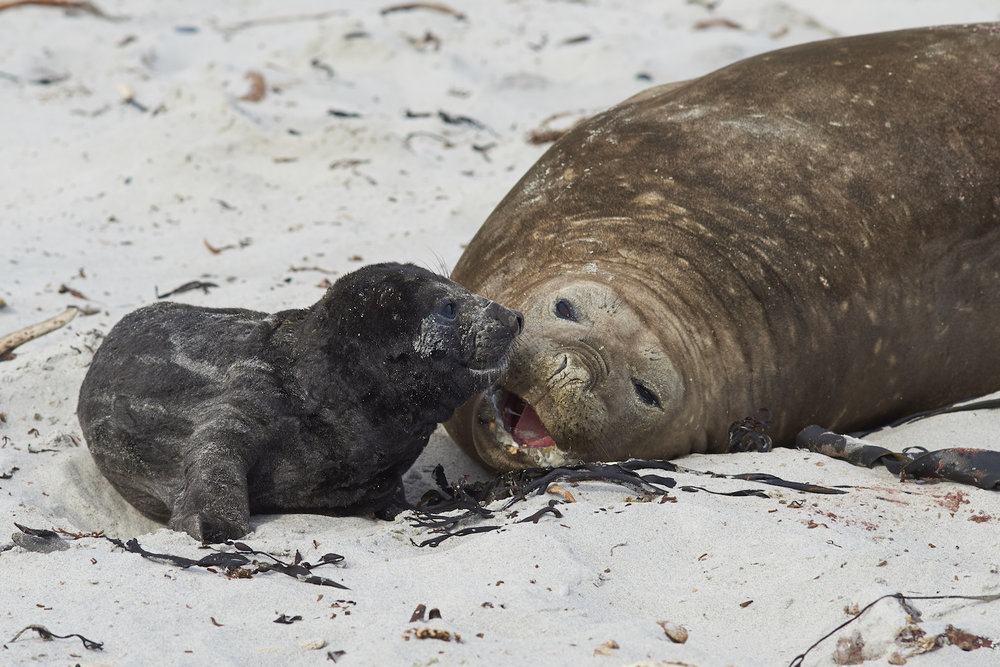 Mother and baby seal pup