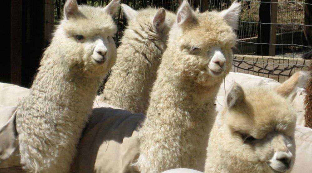 AlpacasFacts:ThisOutsideLife.com.