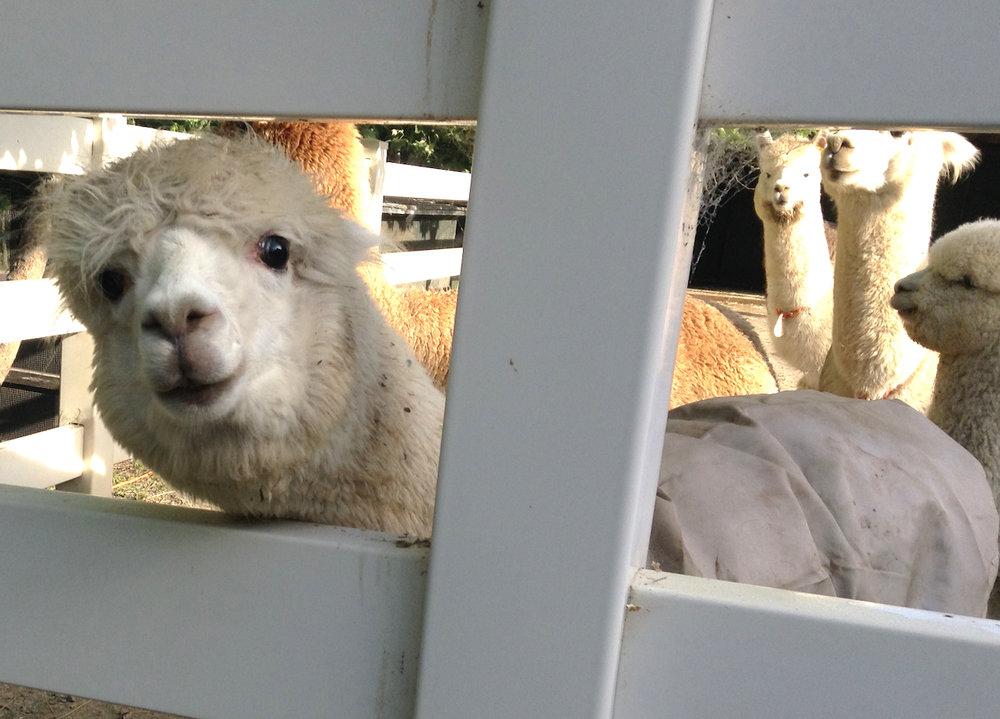 Alpacas from Valhalla Yarns