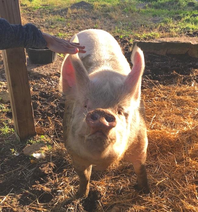 PigSMile-ThisOutsideLife.com%2Frescue.jpg