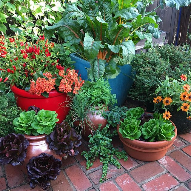 Isn't it wonderful that edible plants are not only delicious but they are beautiful too! You can use your herb jars for salad greens as well as for herbs, for more efficient use of space. #butterlettuce #goldenchard #chives #spicypeppers #yerbabuena #chervil #Frenchthyme #roscreasy #rosgarden #smallgarden #patiogarden #herbjar