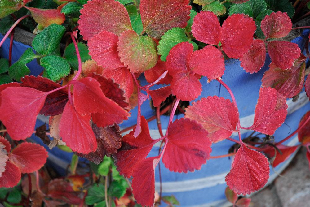 strawberry foliage (1 of 1)-2.jpg