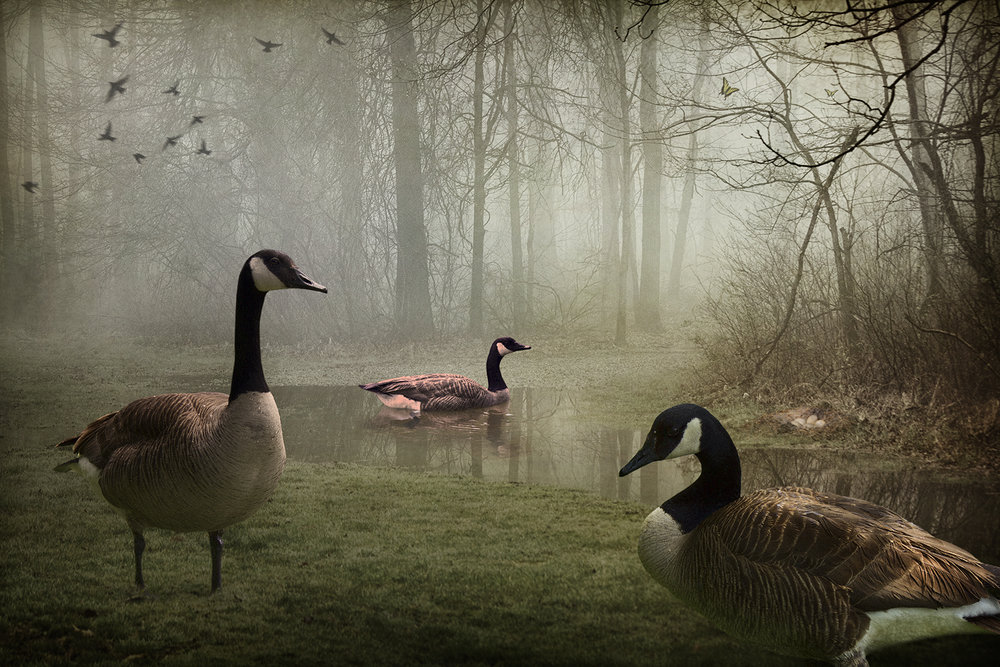 Geese in the Woods