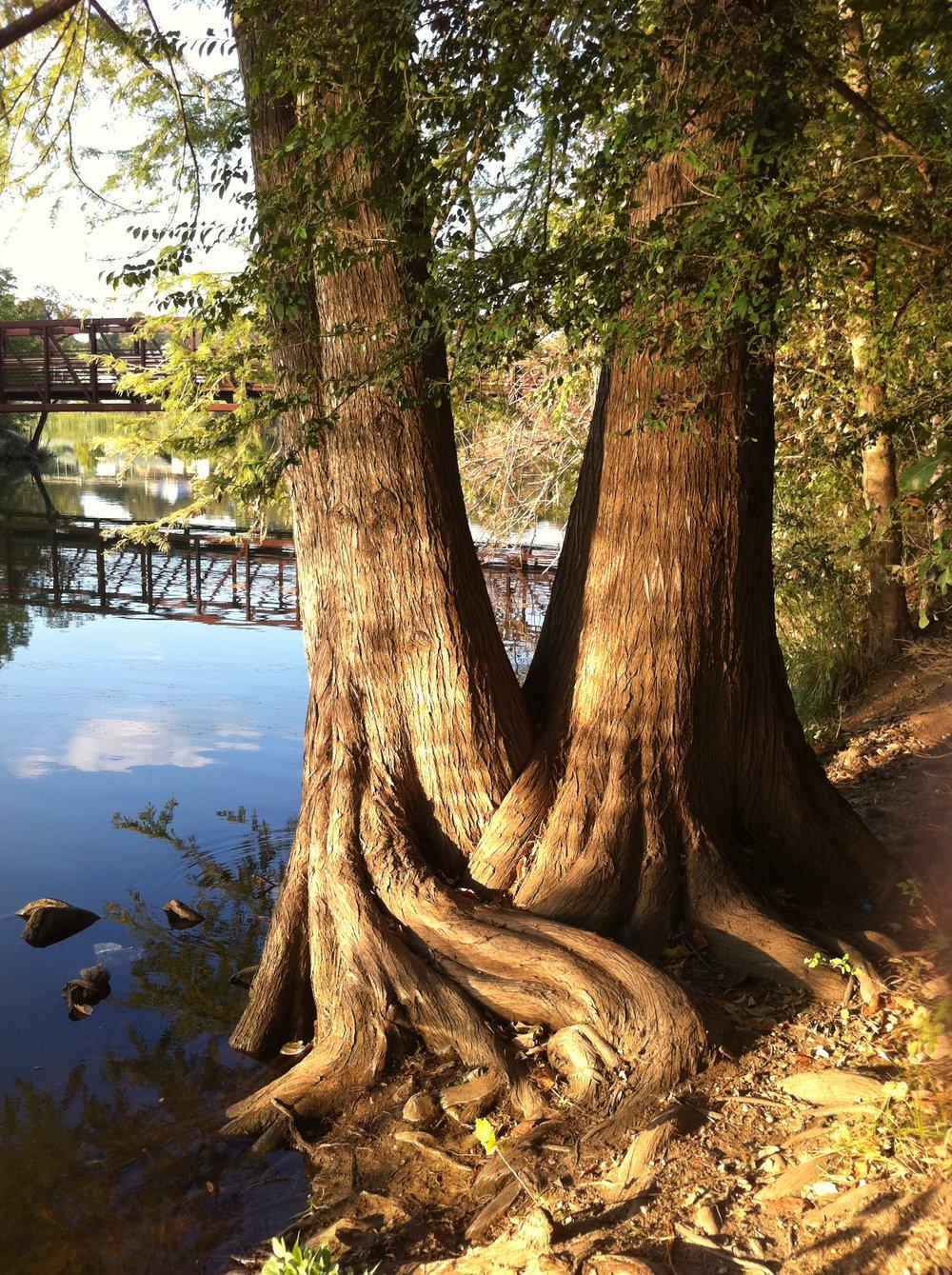 Image 7 - Austin Town Lake Trees  5-16-13.jpg