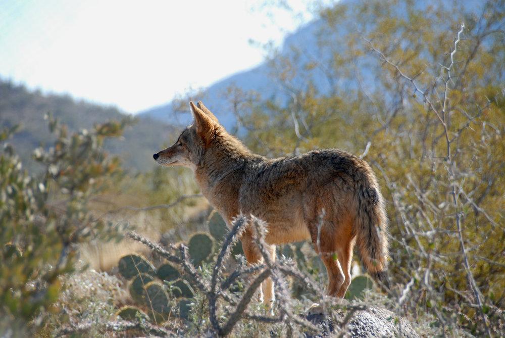 McDowellSonoranPreserve-Coyote.jpg
