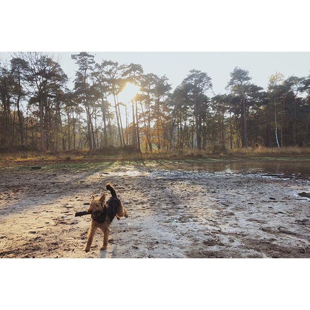 Bliss at dawn is as simple as choosing the perfect stick during the hike. Favourite trail in the Netherlands: it combines heath, forest, countryside ánd poetry. . . . #adventuretime #adventuredognation #tuffpupper #backcountrypaws #rufustravelbliss #lessismoreoutdoors #dogventurist #keepwalking  #naturelovers #stayandwander #explorersbestfriend #exploremore #liveauthentic #countrylife #airedale  #dogsthathike #theoutbound #in2nature  #sendadogphoto #livefolktakeover #Wonderfulwildwoman #seekthetrails #keepitwild #hikerlist  #nature_real #folkscenery #moodygrams #dogumented #awakethesoul #theoutdoorvibes