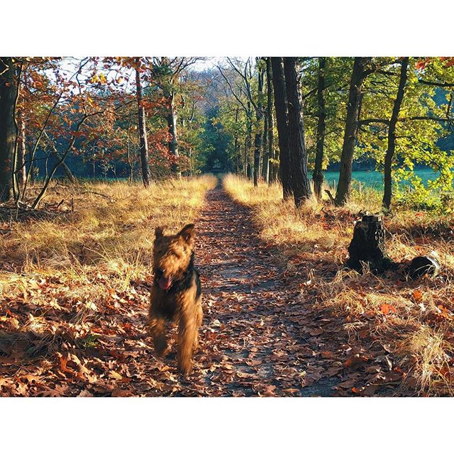 I need the tonic of wildness. What about you - Will you be roaming free today? Can you see how I blend in the autumn leaves 🍁? . . . . #hikingwithdogs #neverstopexploring #adventurethatislife #dogsonadventures #hikingwithdogs #scruffysquad #backcountrpaws #traildog #offleashsisterhood #airedaleterrier #dogumented #thegreatoutdogs #tuffpupper #blackpineadventure #folkscenery #mydogismy #campingcollective #bestofpack #adventurethatislife #roamtheplanet #exploremore #stayandwander #bestwoof #dailybarker #dogsofinstaworld #terriersofinstagram #theoutbound