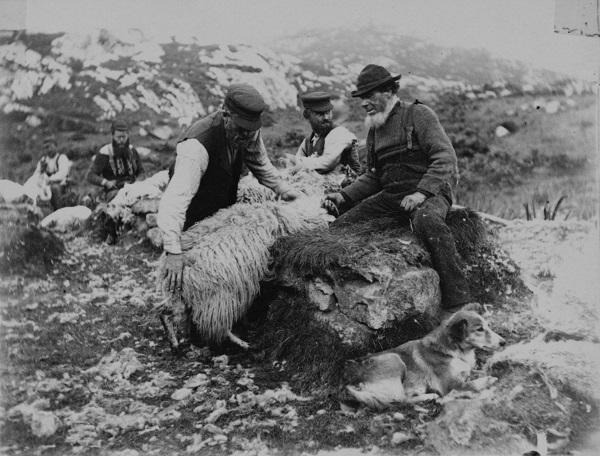 Shearing sheep, probably Harris, c.1900 [Image © NMS].