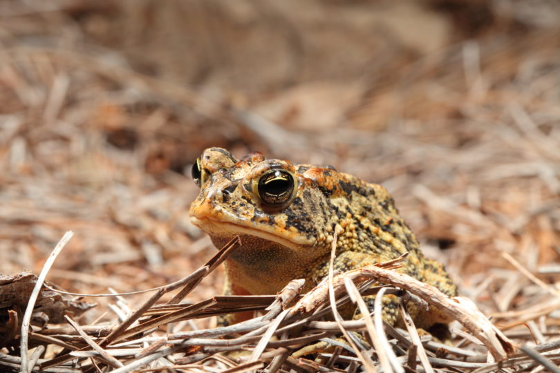 Toxic toads can tolerate environmental contaminants -