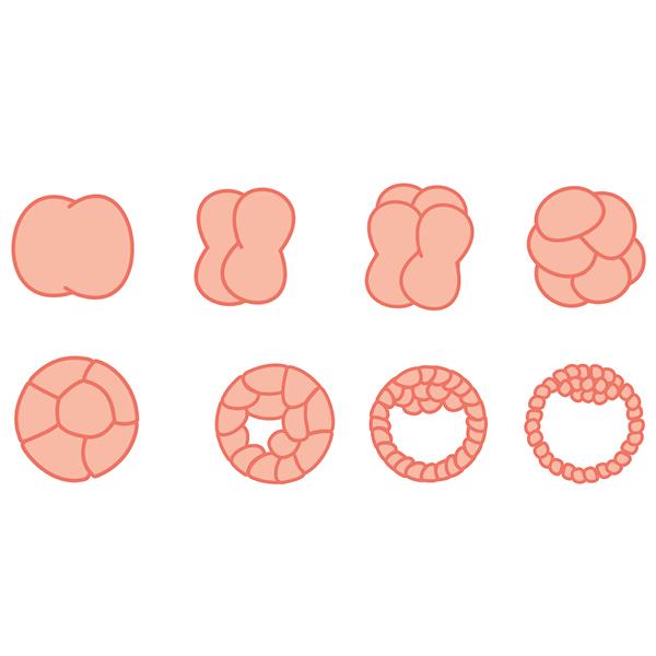 fetal-development.jpg