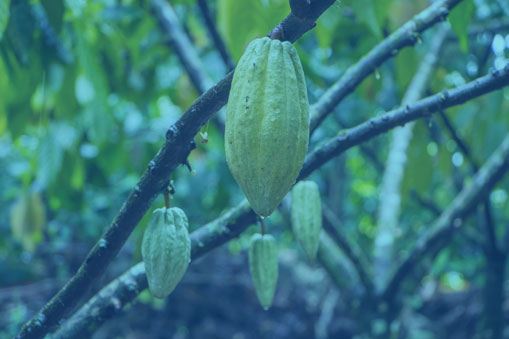 Both Ghana and Côte d'Ivoire aim to increase cocoa production while protecting forests. -