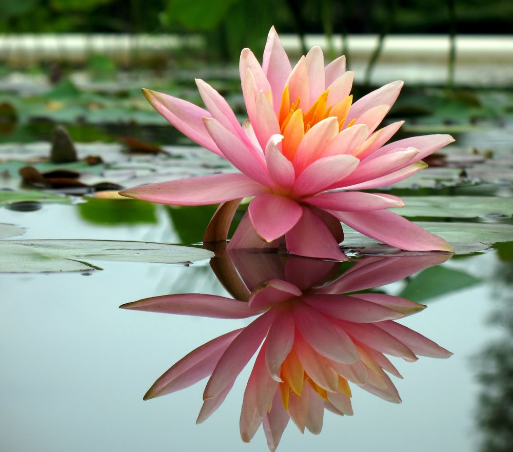 pink lotus reflected in still pond.jpg