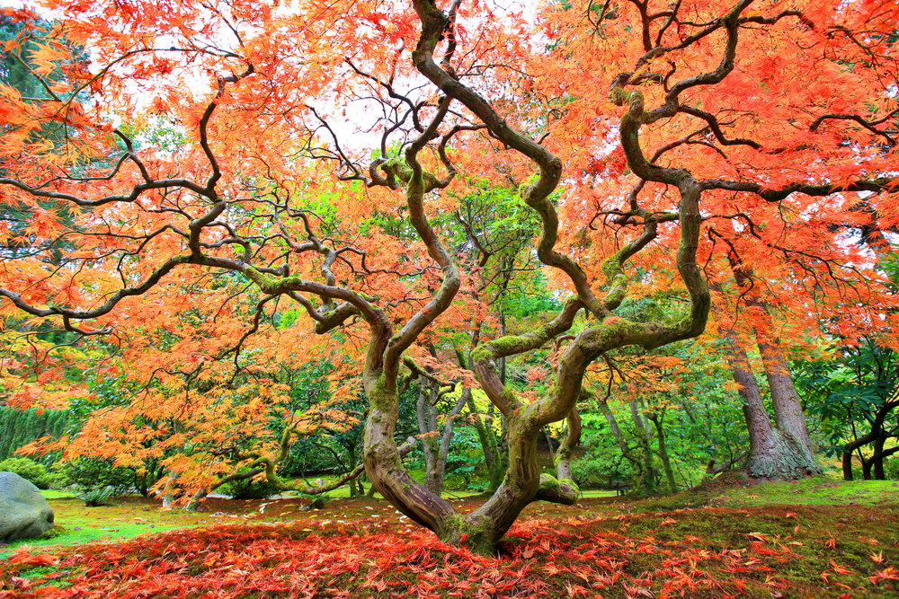 Autum maple crooked tree copy.jpg