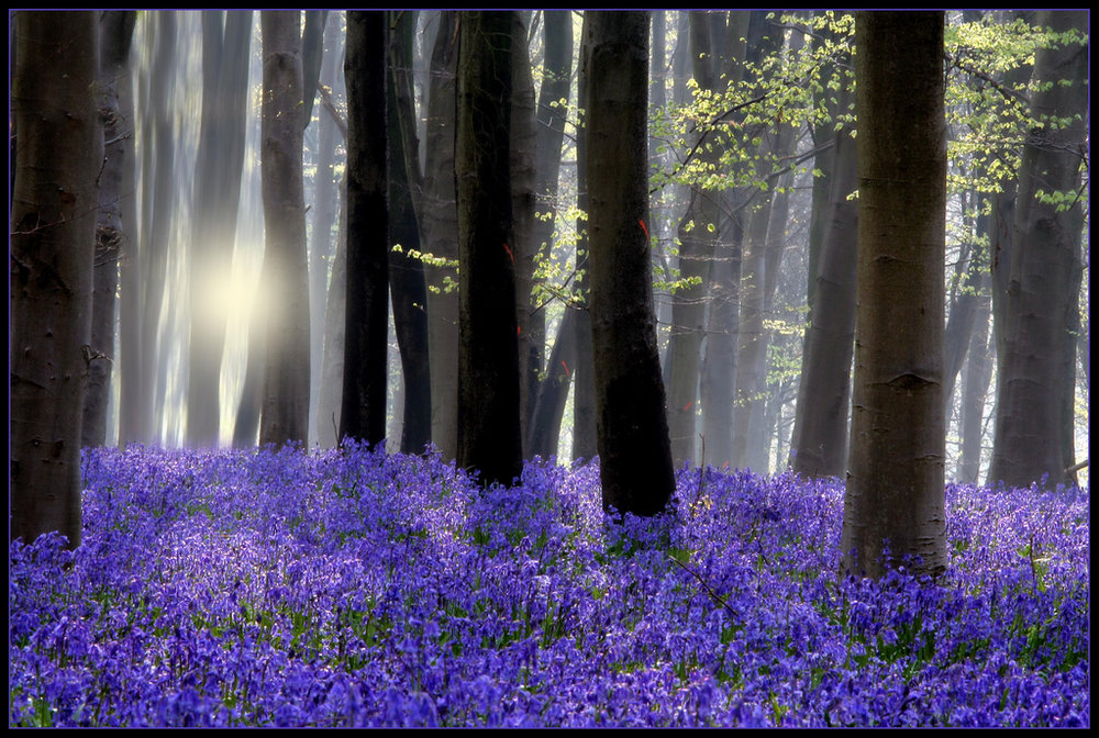 bluebell backlit.jpg