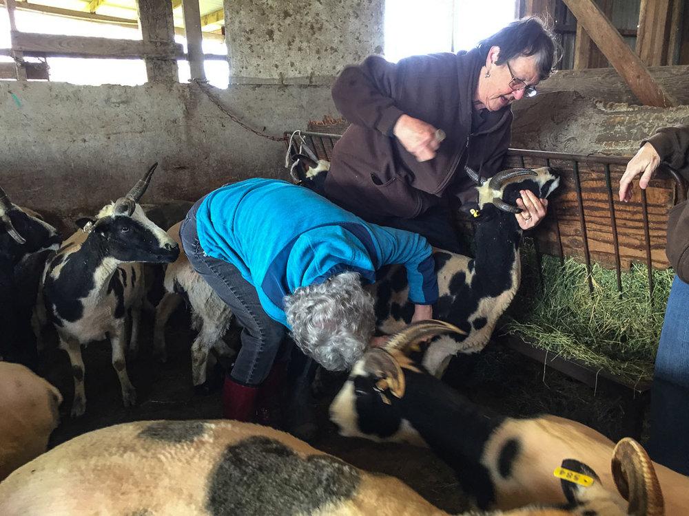 vaccinating_sheep.jpg