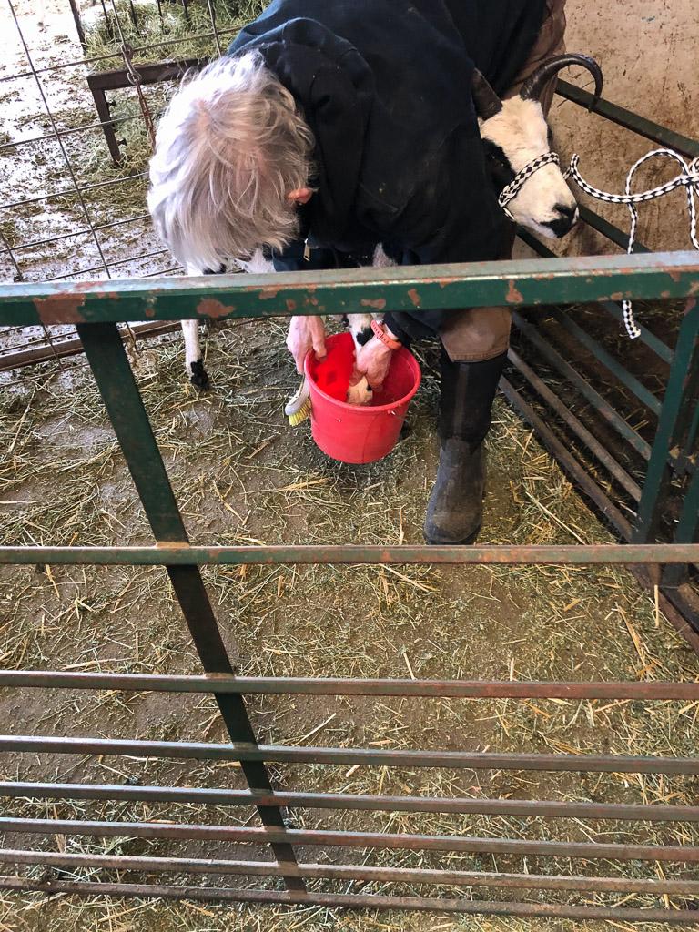 treating_lame_sheep.jpg