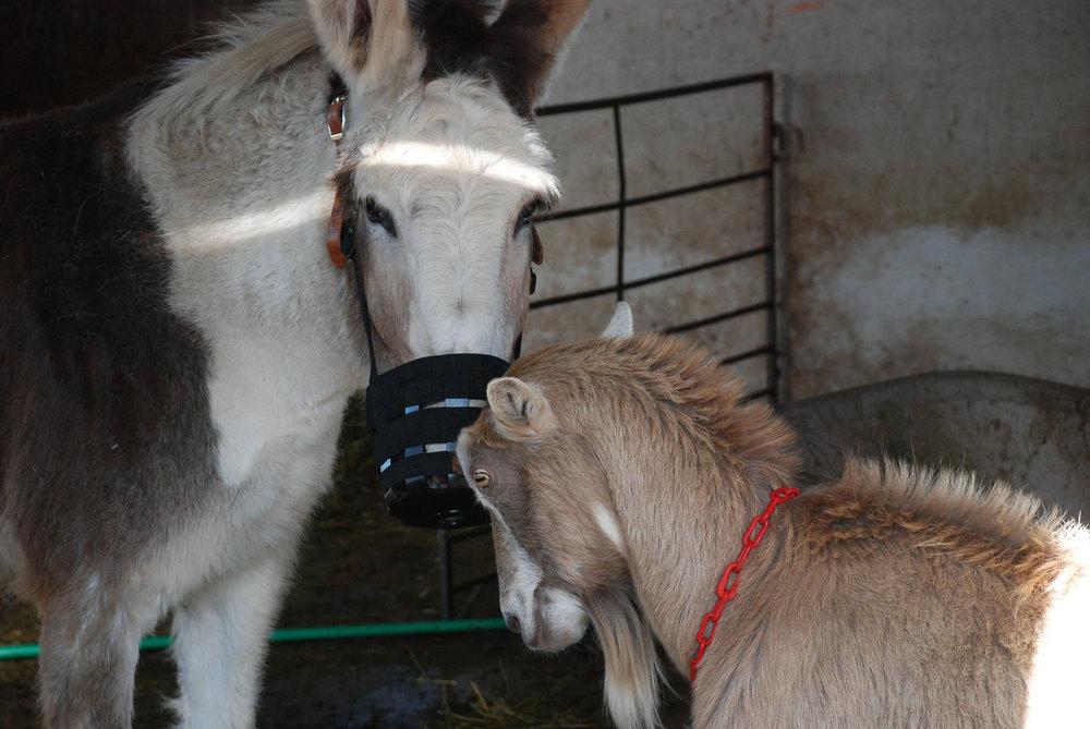 Donkey and goat.