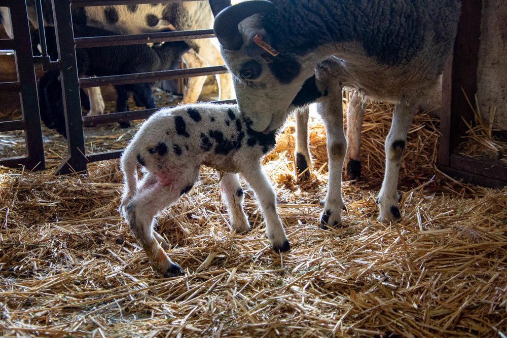 New lamb on her feet.