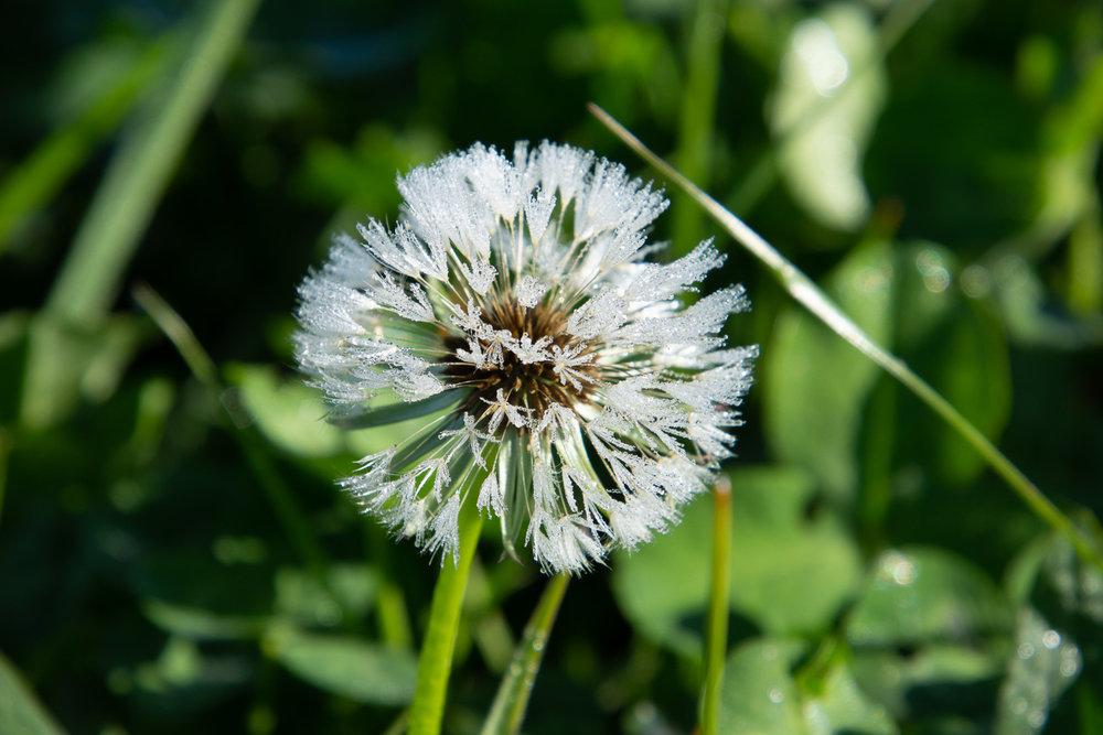 Dandelion glistens with dew.