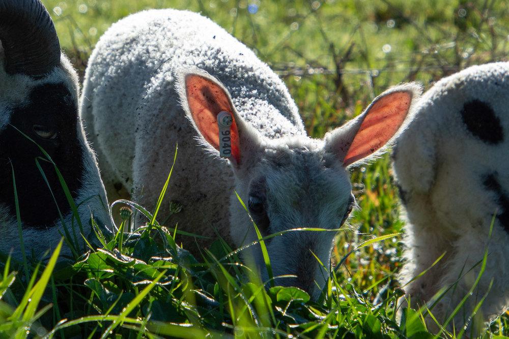 BFL-cross lamb with sunlight shining through his ears.