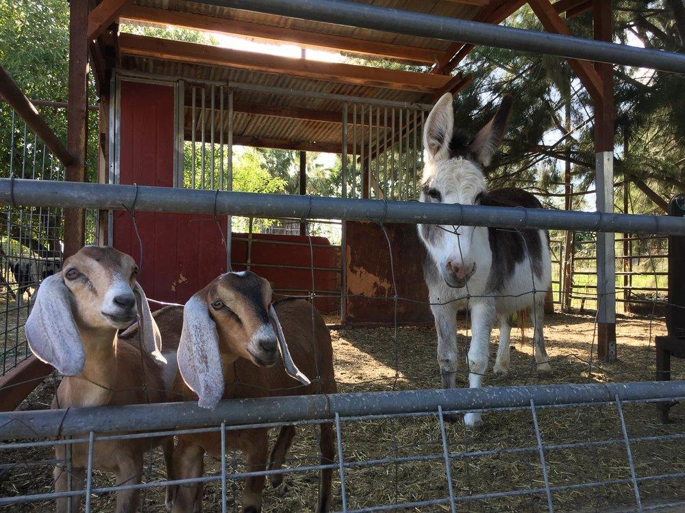 Donkey and goats