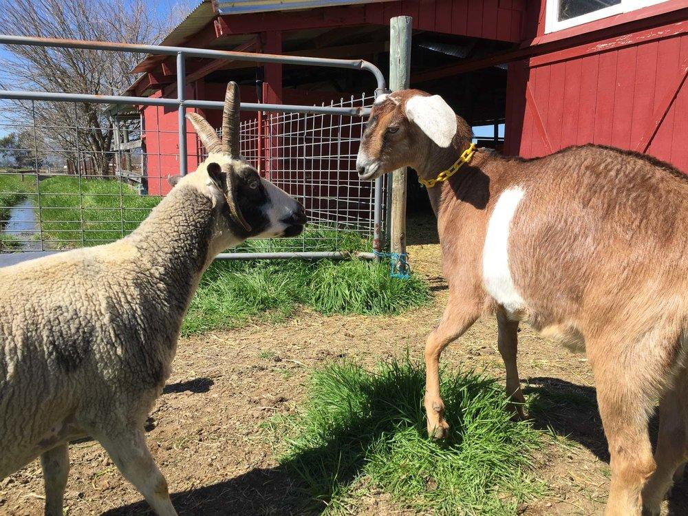 Goats meet a sheep.