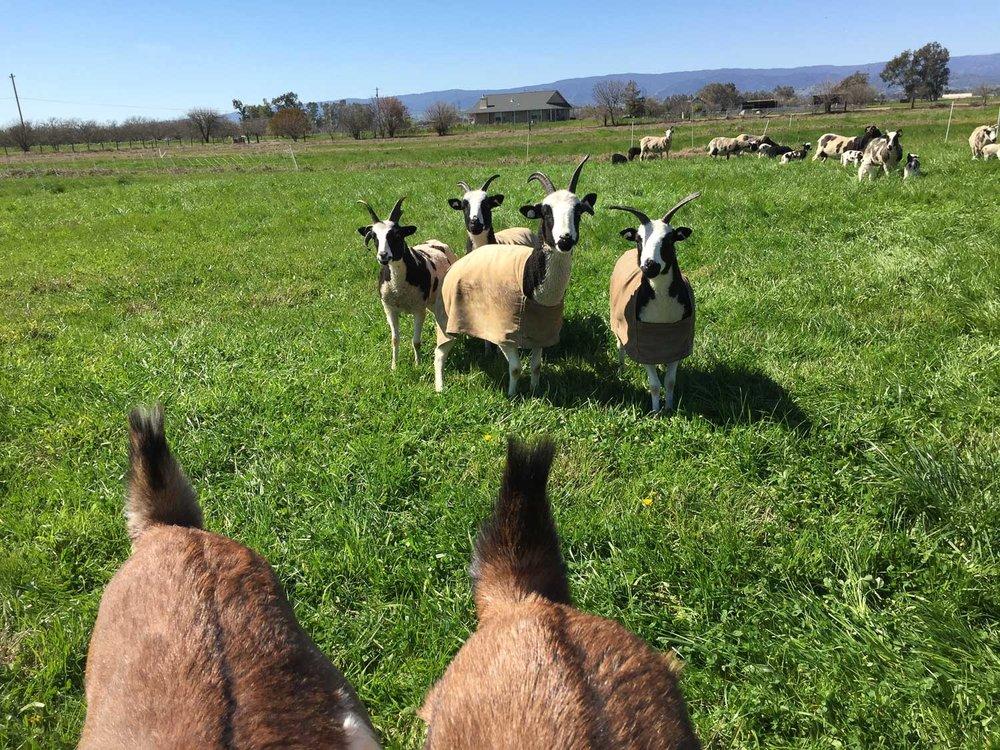 Sheep approaching goats.
