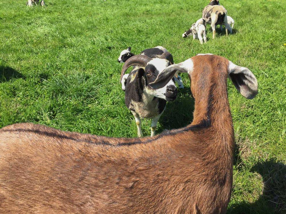 Sheep investigating goat.