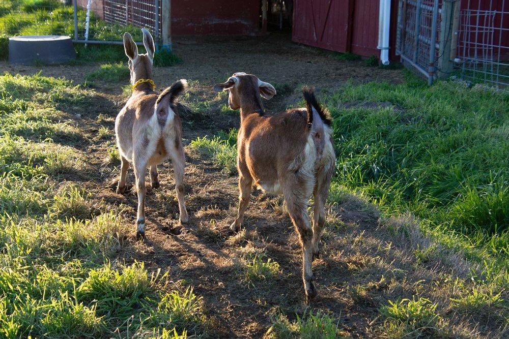Goats running to barn.