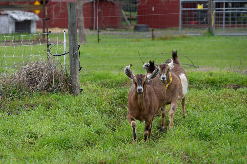 Goats running to pasture.