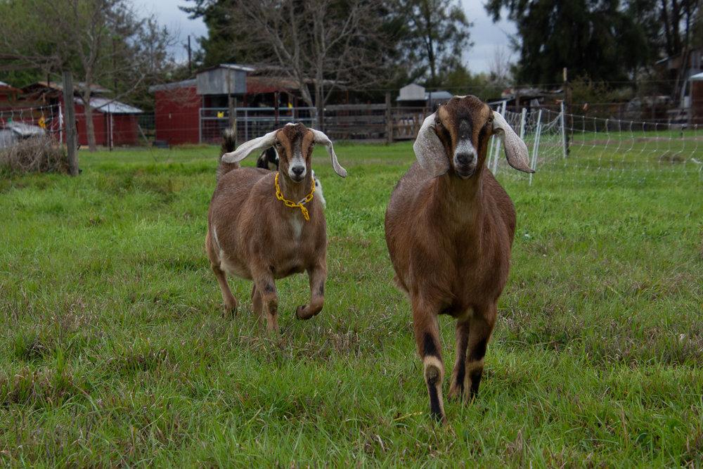 Nubian goats running to pasture.