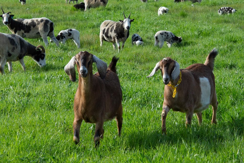 Goats in pasture.