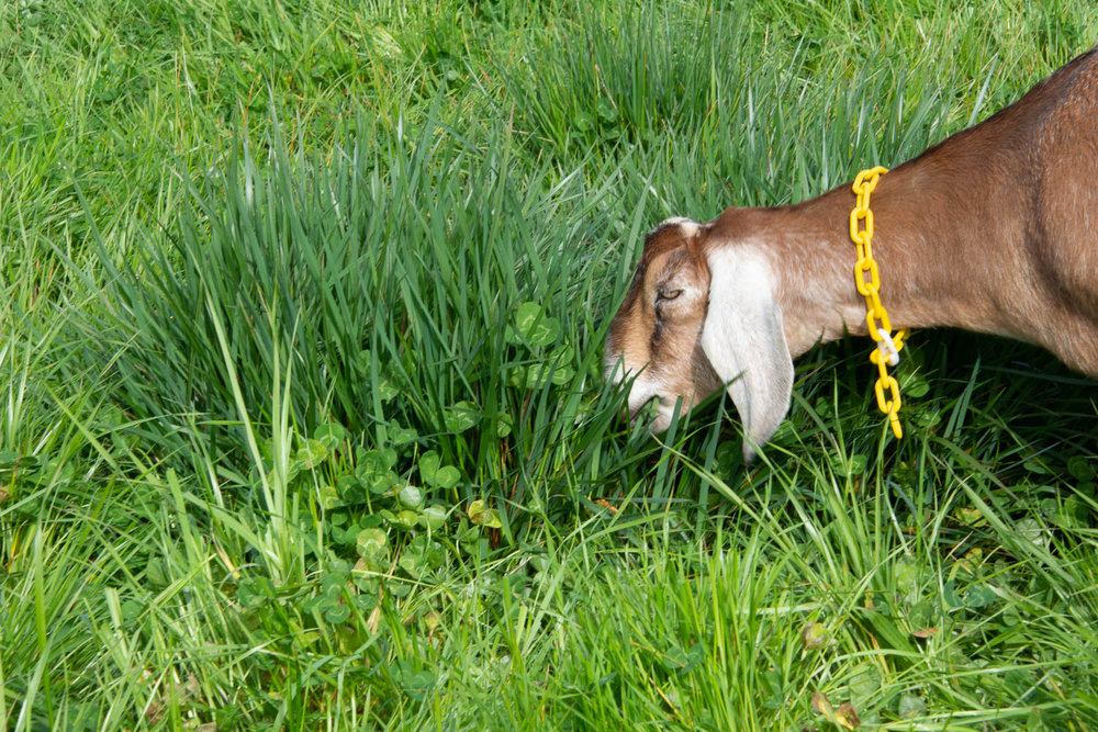Goats eating fescue.