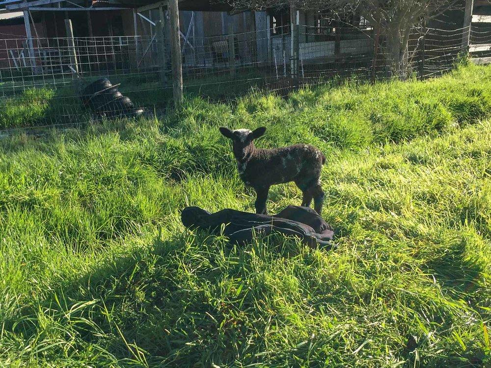 Bottle lamb in pasture.