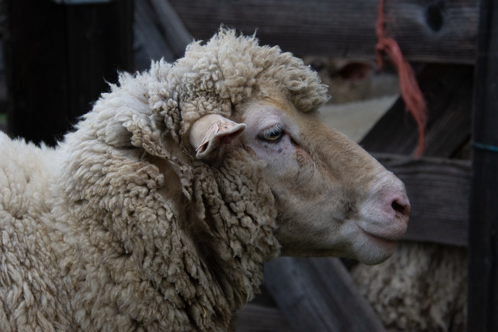 Ewe ready for shearing.