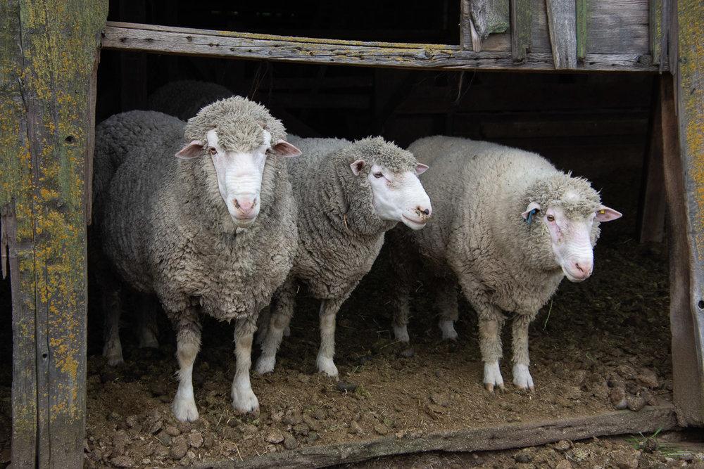 Rams ready for shearing.