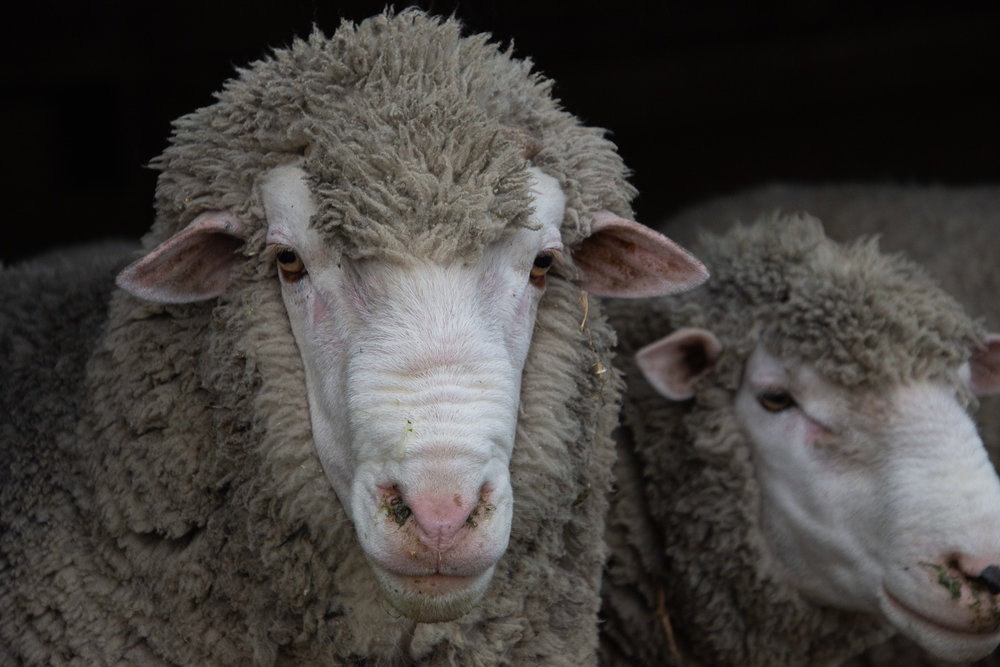 Ram portrait.