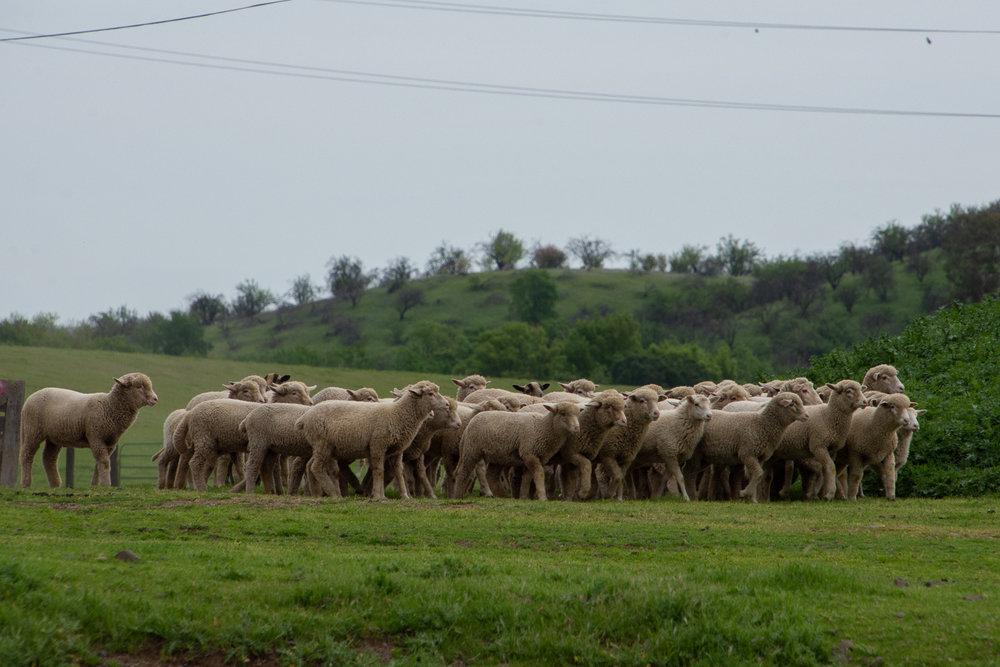Timm Ranch sheep .
