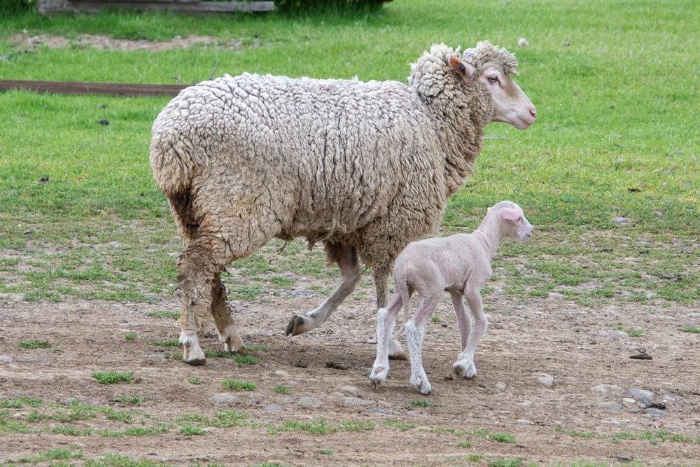 Ewe with new lamb.