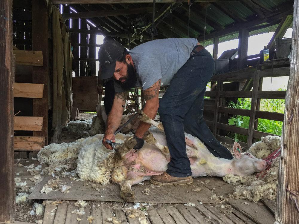 Shearing a ewe.