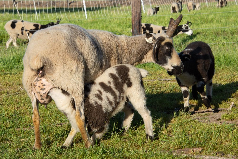 Bronagh's lamb nursing. In this image you can tell that nursing isn't the gentle activity that you might think.